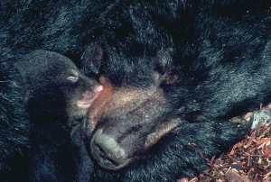 Mother and cub curled up, from bear.com