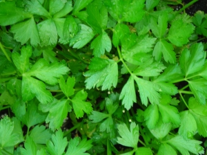 Italian parsley, from gpb.org